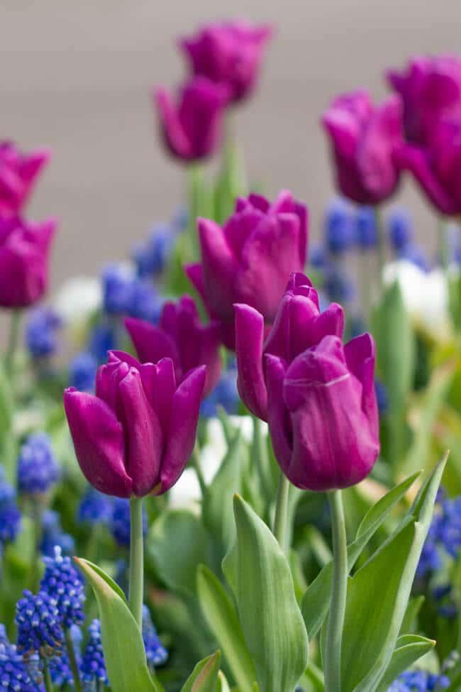 Tulips at Keukenhof in the Netherlands