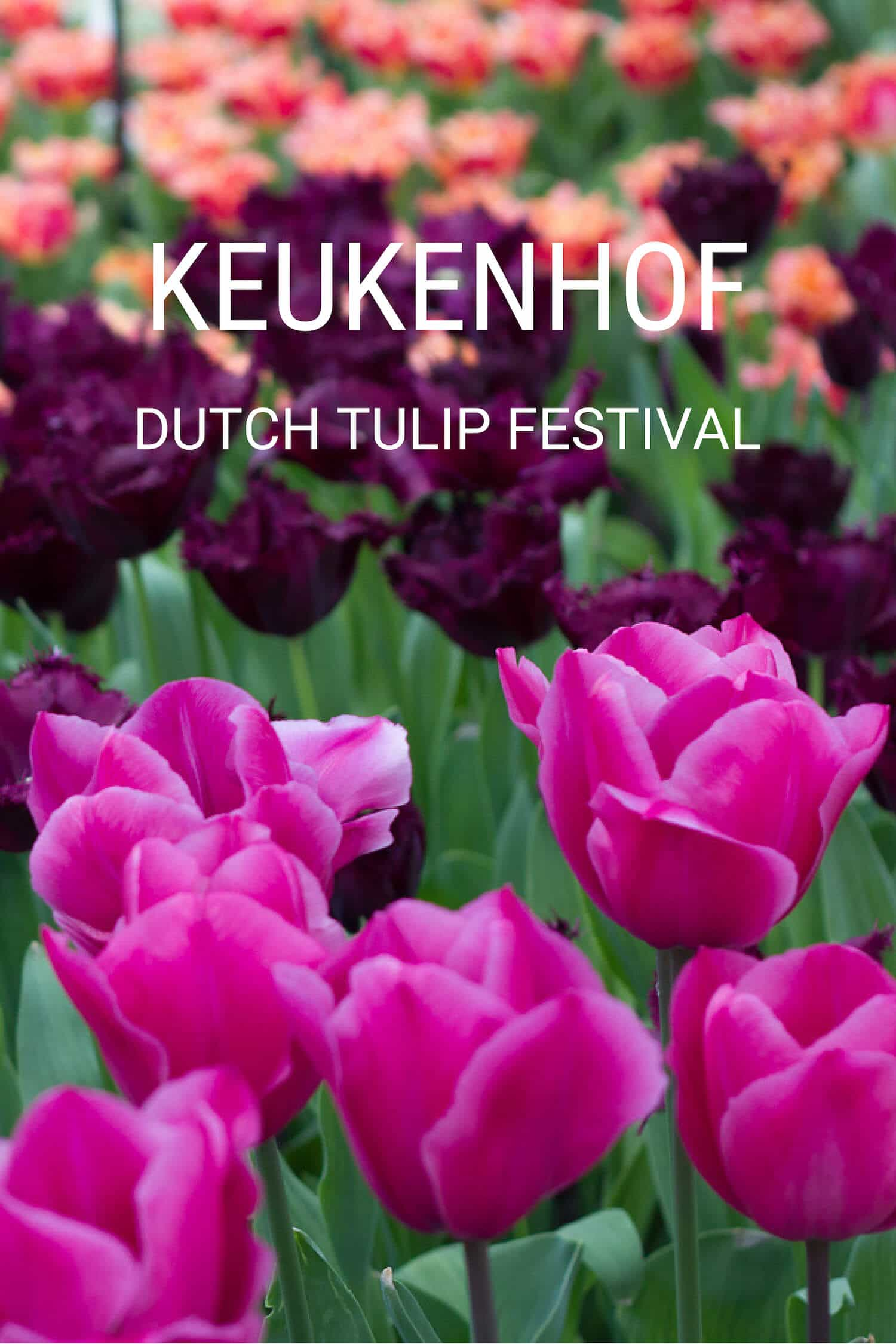 Keukenhof Dutch Tulip Festival Guide