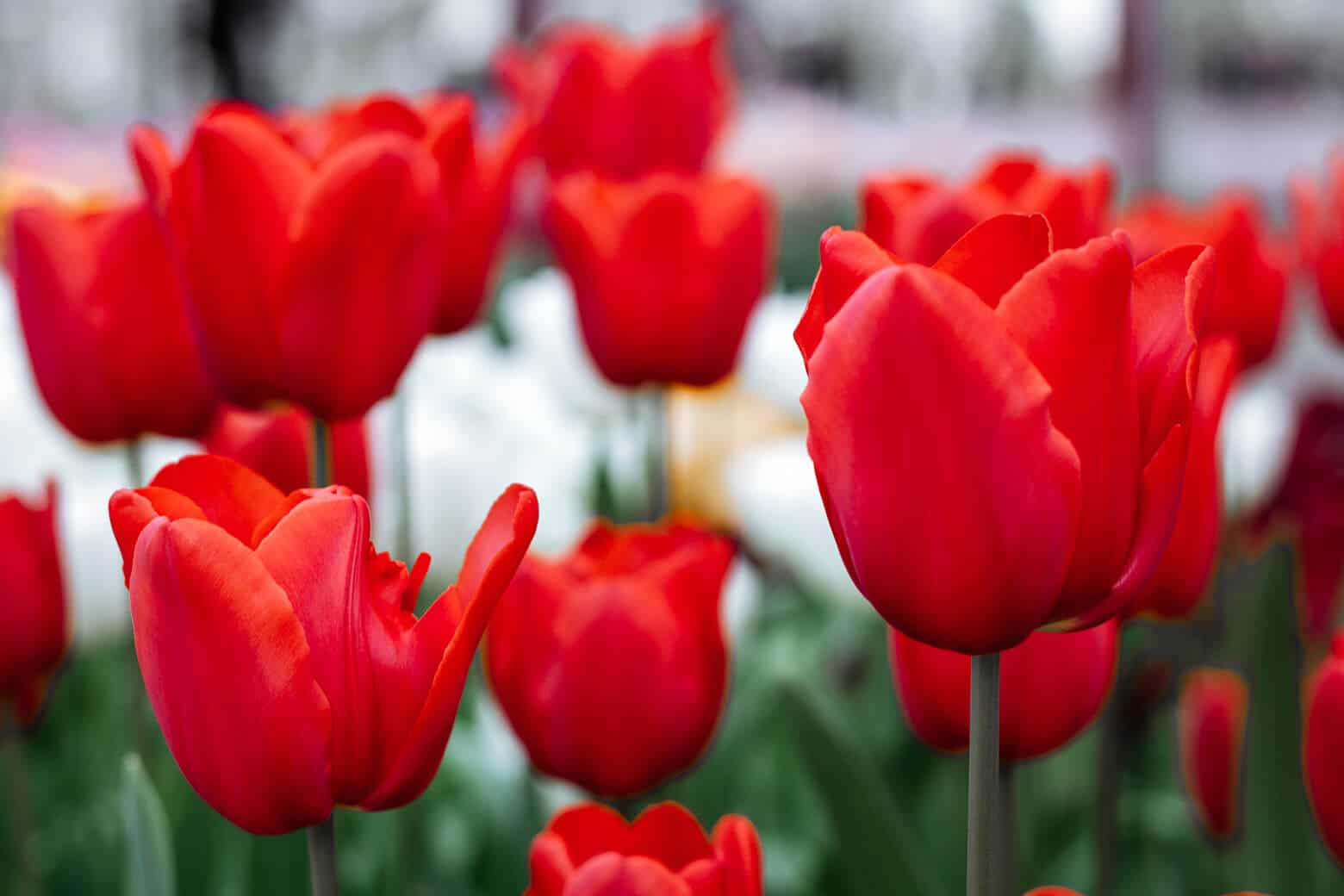 Holland's Tulip Festival - Visit in 2019