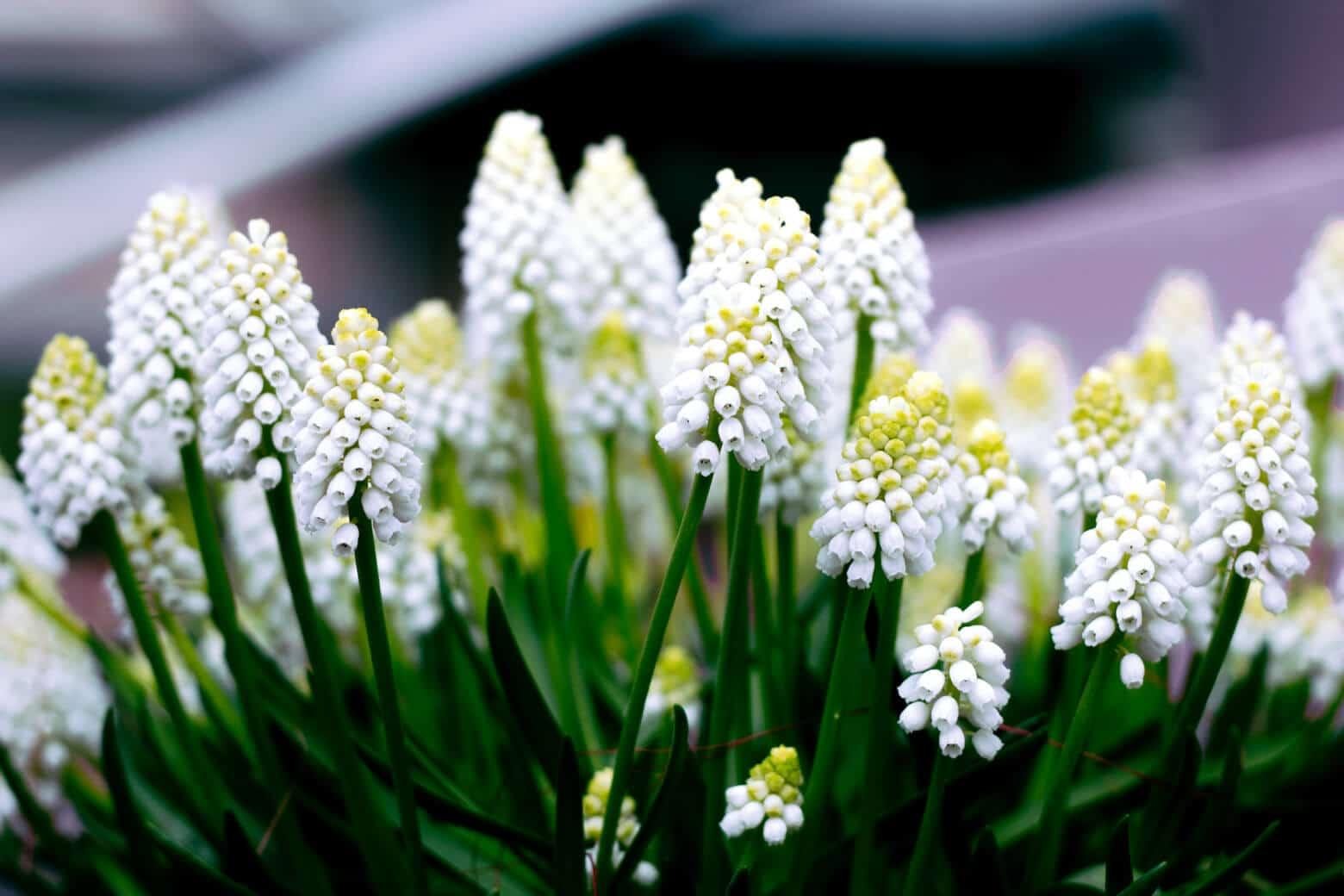 White Grape Hyacinths at Keukenhof