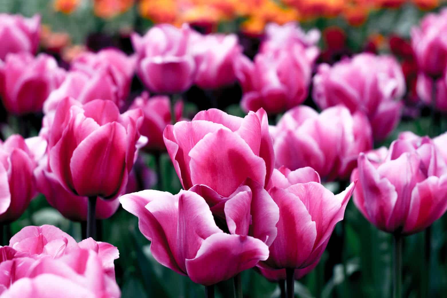 Pink & White Dutch Tulips