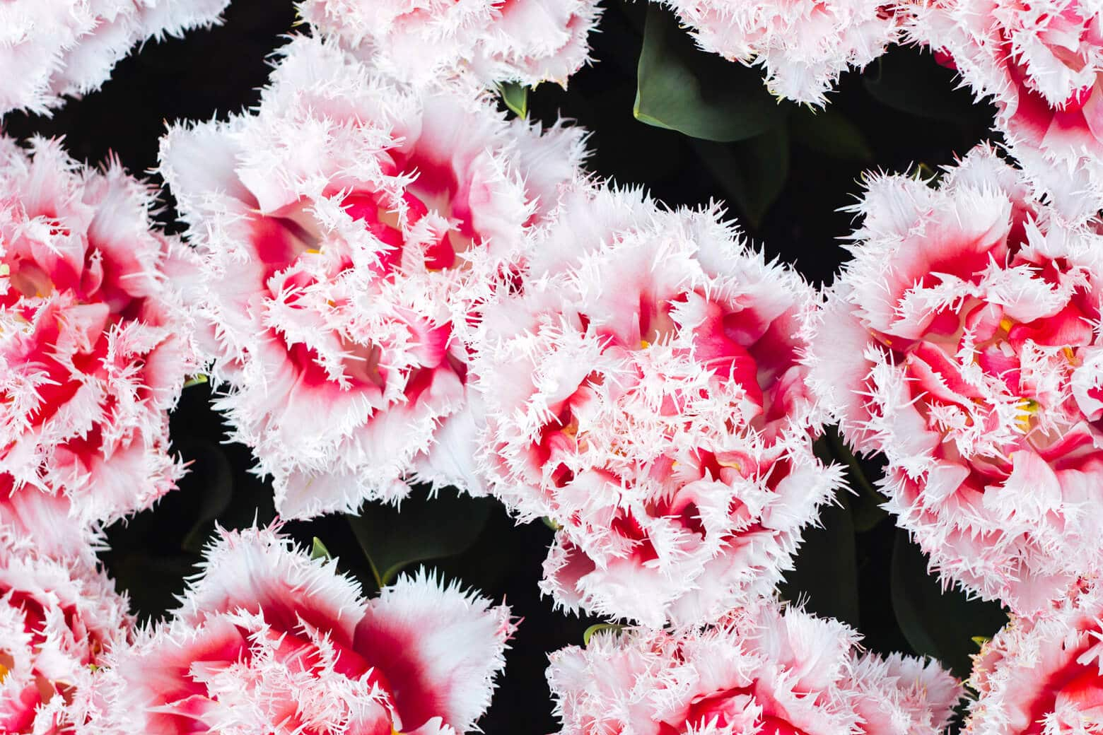 Feathered Pink & White Tulips