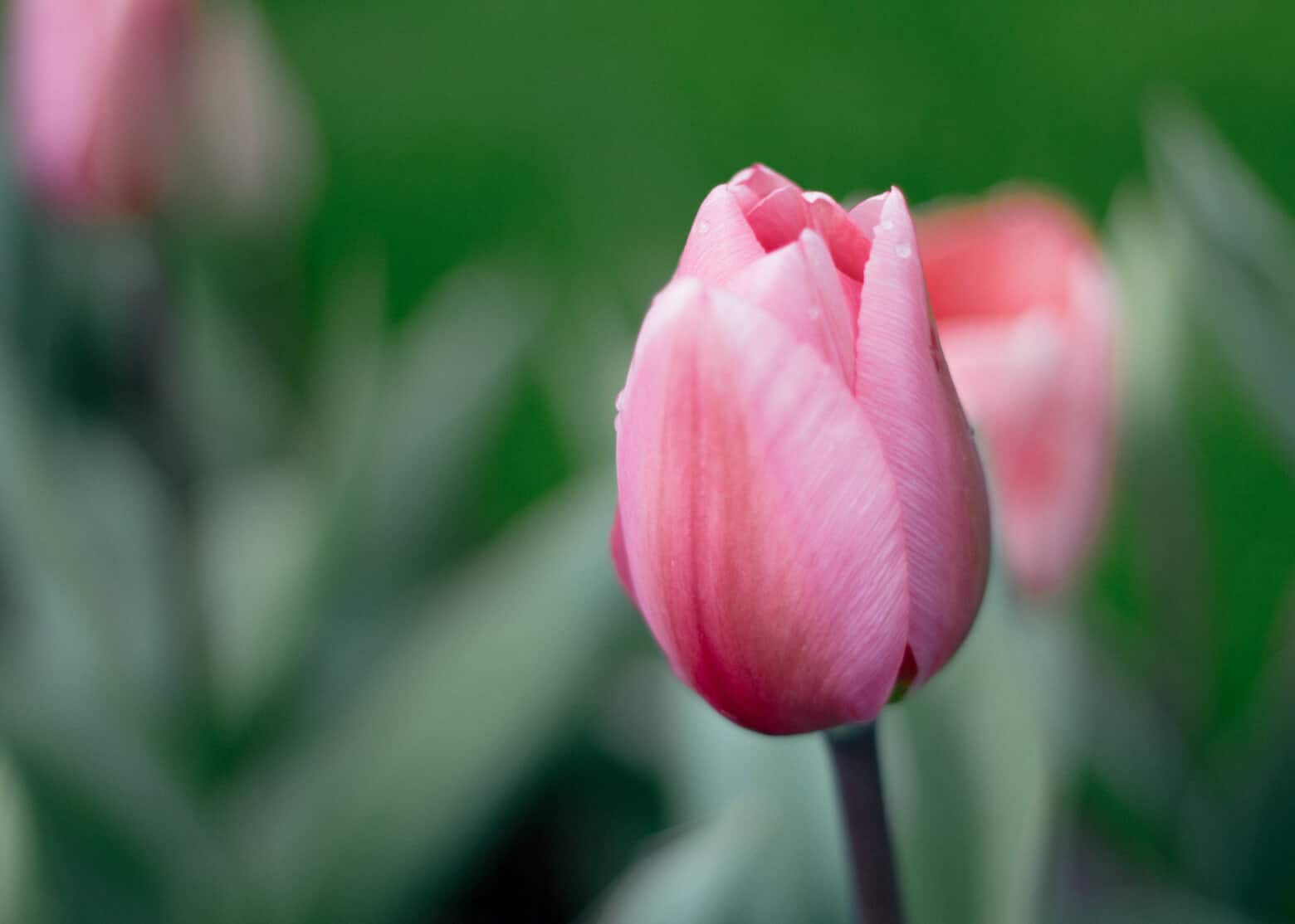 Classic Pink Tulip in Holland