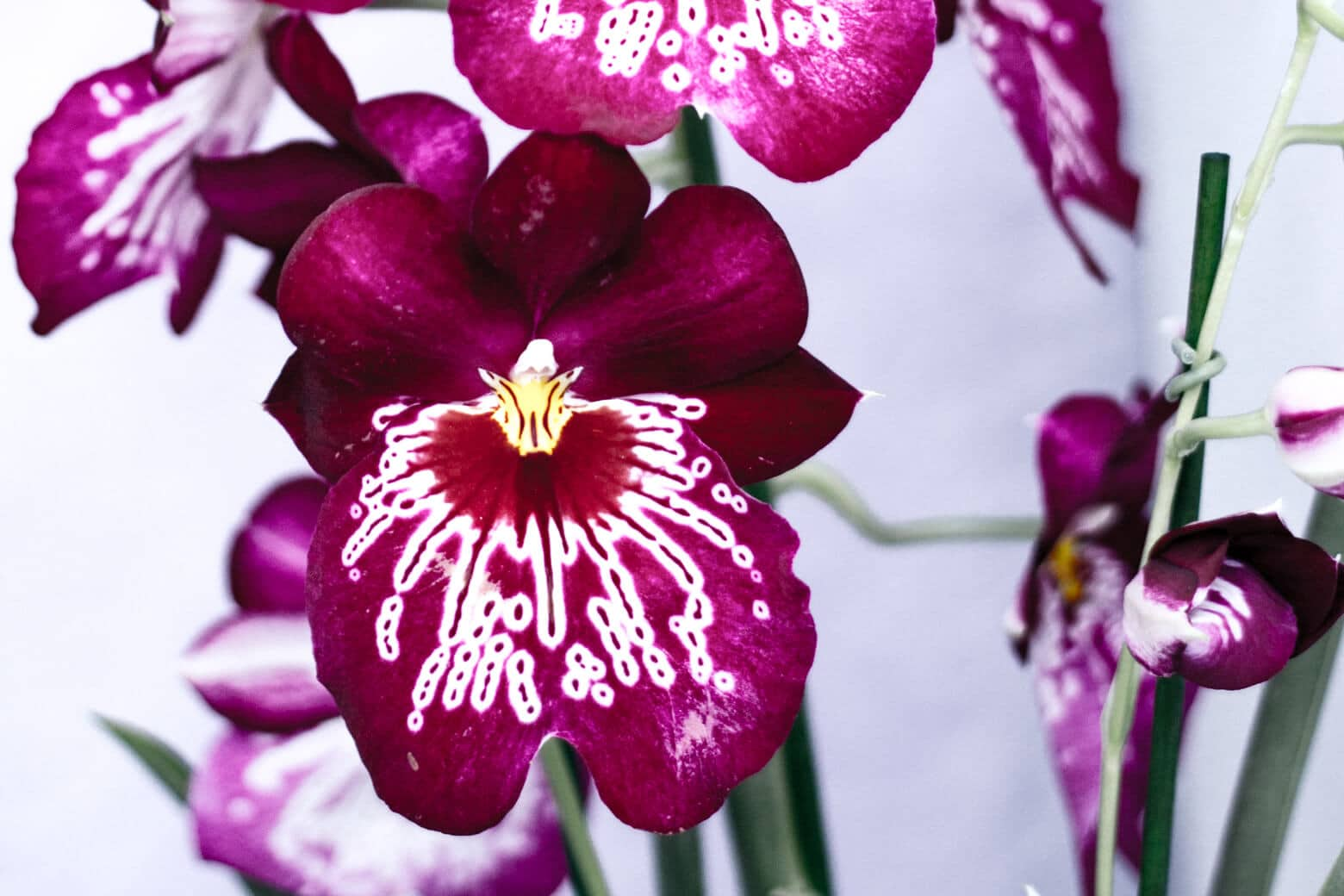 Stunning Orchids at Keukenhof