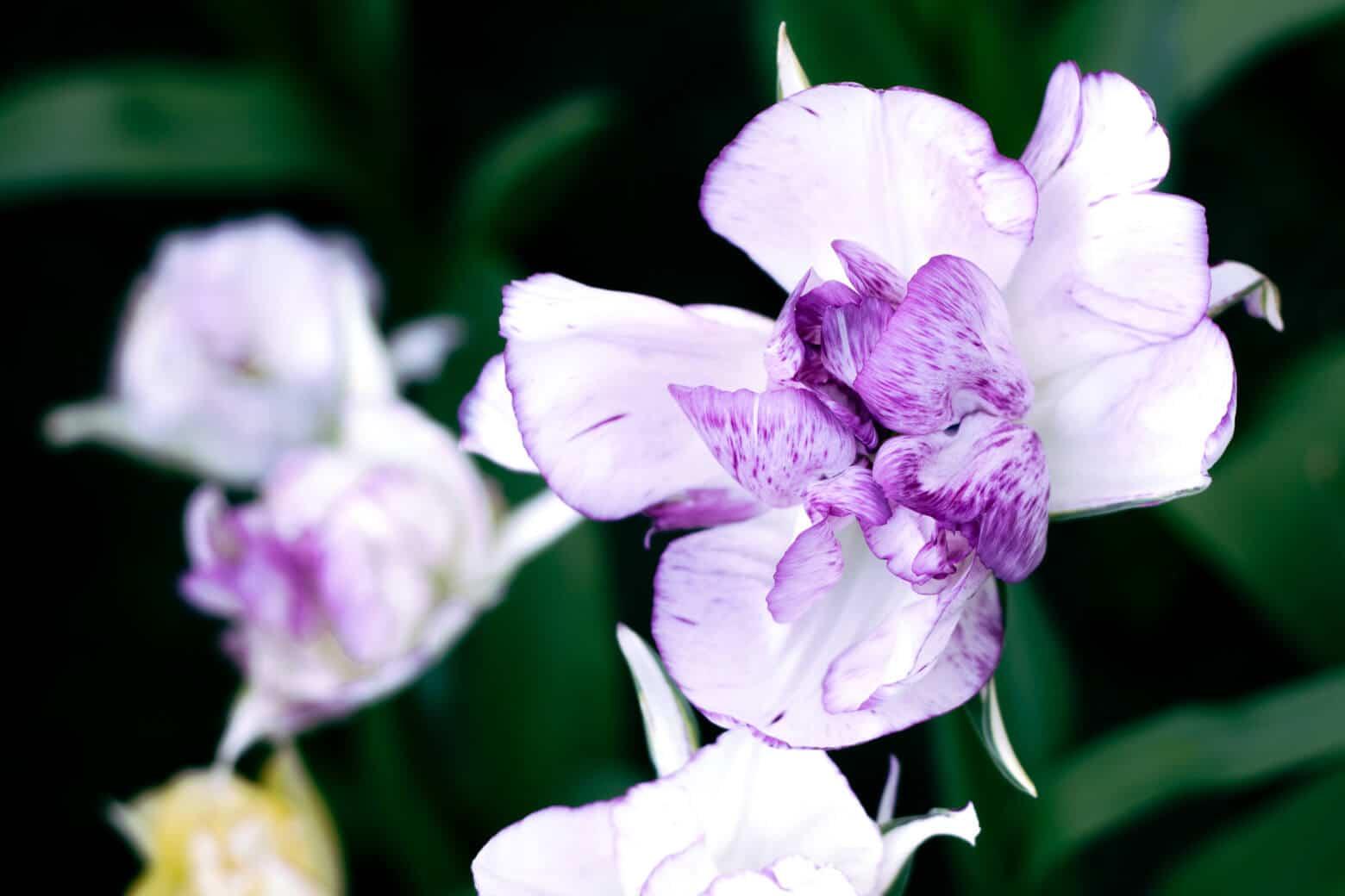 Purple Dutch Iris at Keukenhof