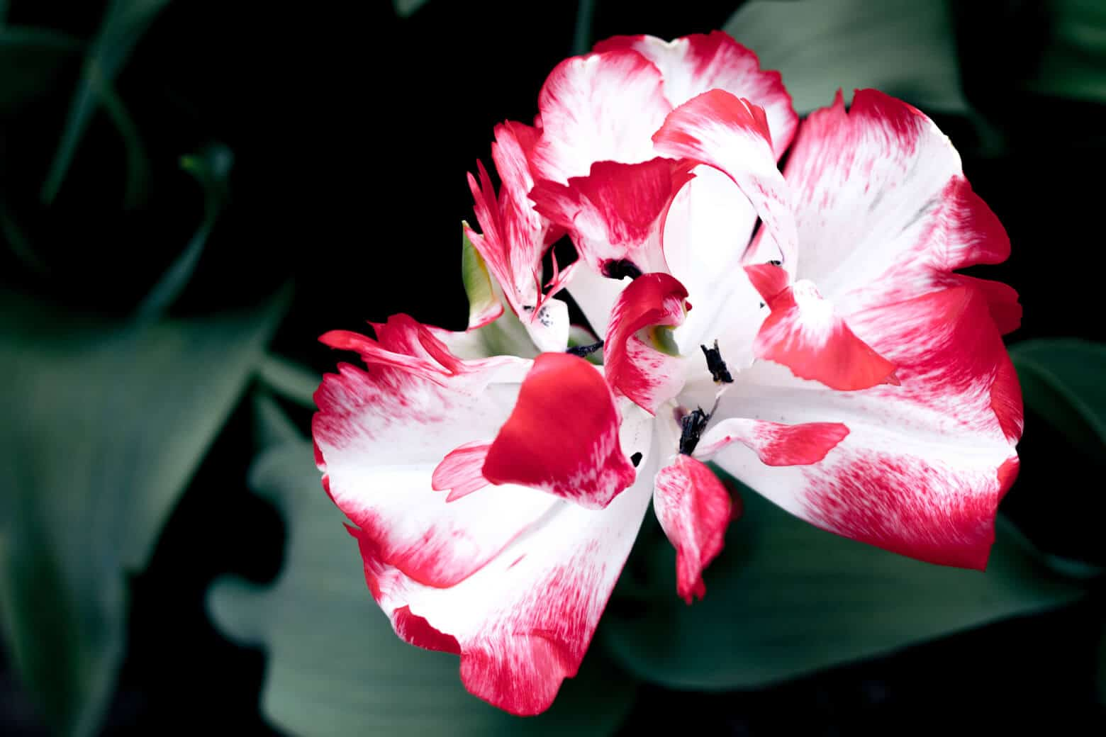 Red & White Flower in Holland
