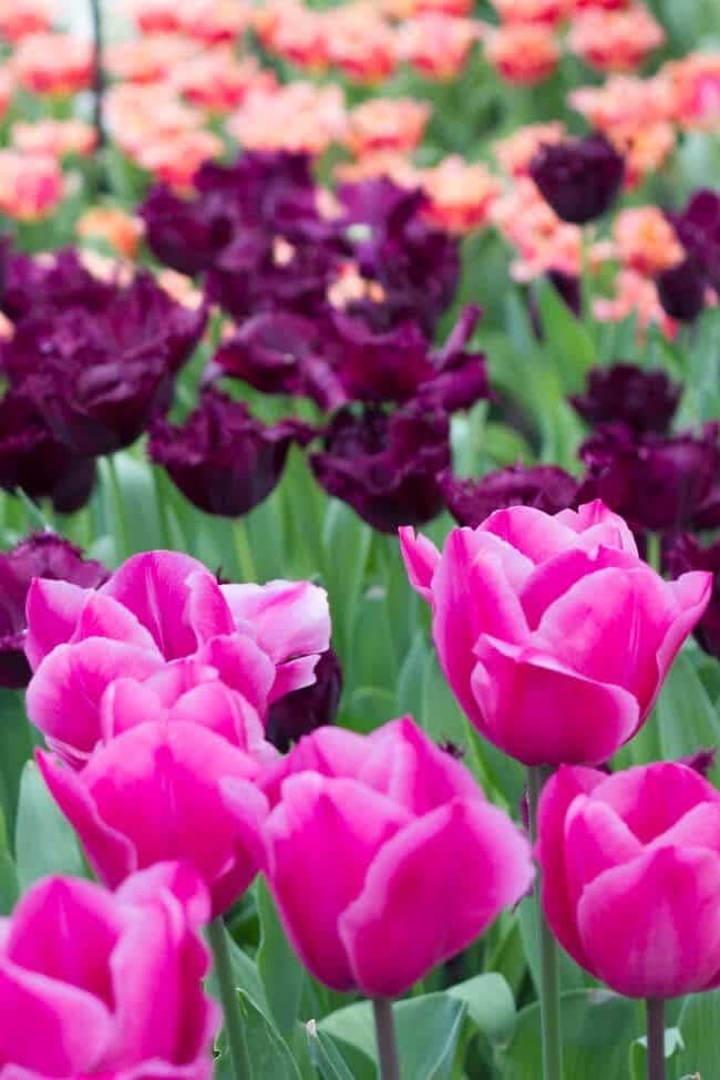 Keukenhof 2018 Amsterdam S Tulip Amp Flower Festival