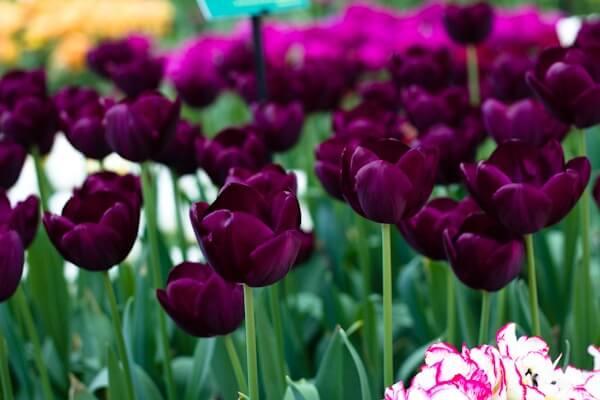 keukenhof  amsterdam's tulip  flower festival, Natural flower