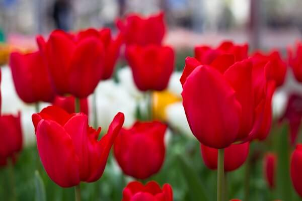 Holland's Tulip Festival - Visit in 2014