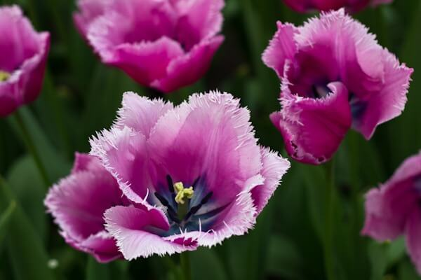 The Prettiest Tulip at Keukenhof