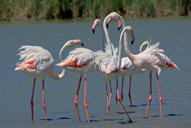 Flamingos in Montpellier France