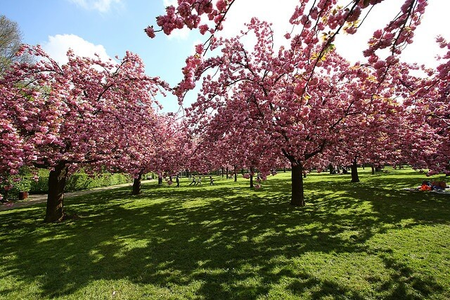 Cherry Blossoms at Parc de Sceaux