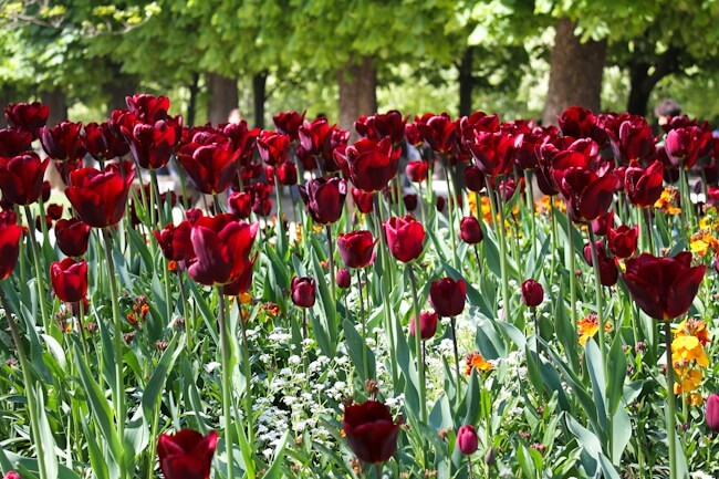 Red Tulips at the Luxembourg Garden in Paris