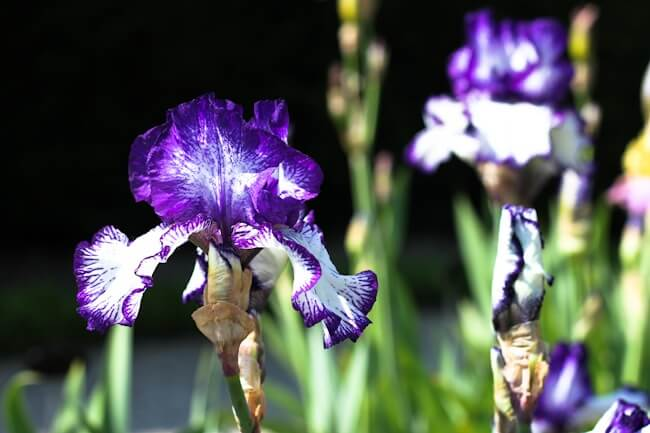 White and Purple Bearded Iris in Paris