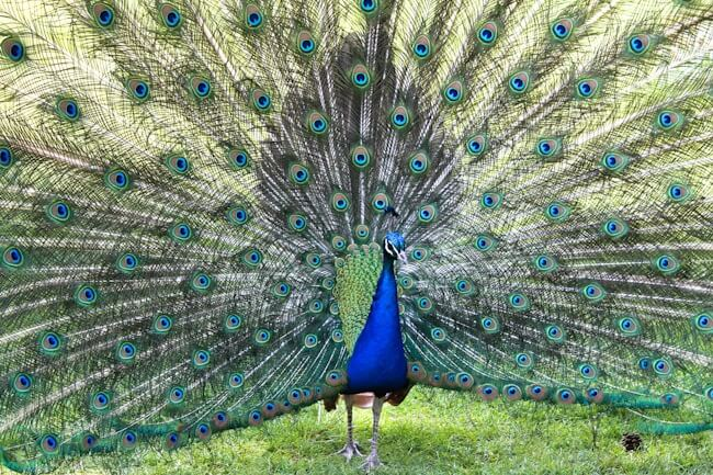 Peacock at Parc de Bagatelle in Paris, France