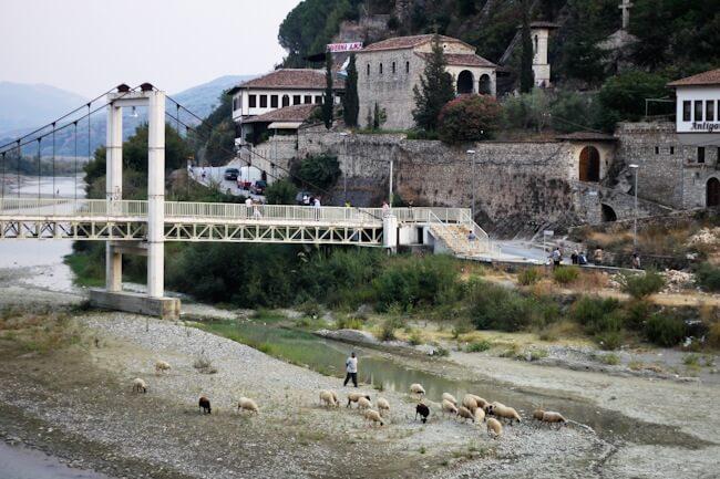 Sheep in the river in Berat