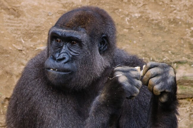 Gorilla at Rostock Zoo