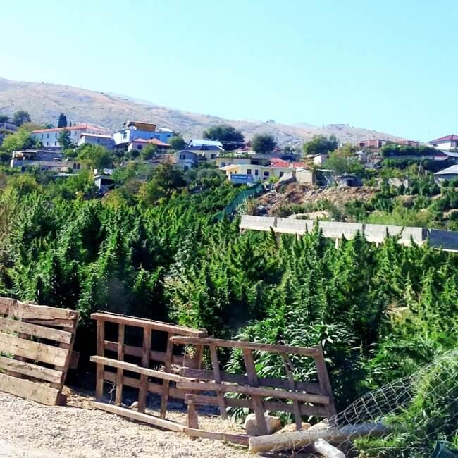 Cannabis Fields in Lazarat