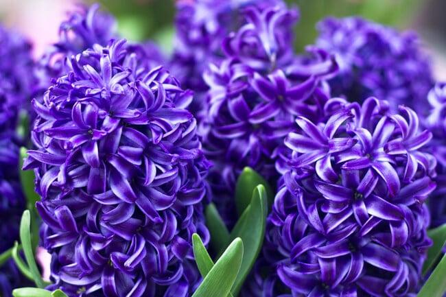 Bright Purple Hyacinths