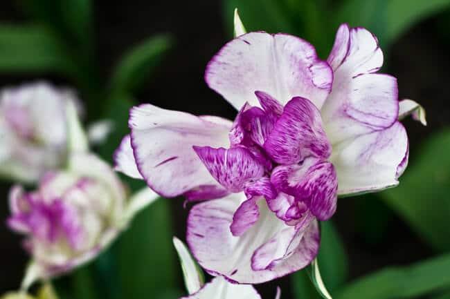 Soft Purple and White Tulip