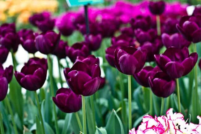Deep Purple or Black Tulips