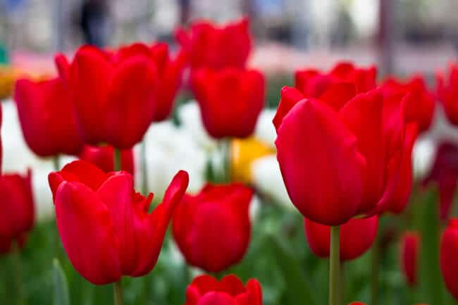 Pure Red Tulips