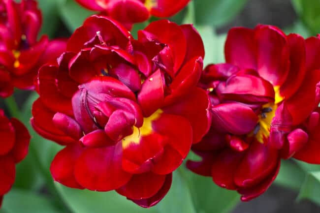 Deep Red Double Tulips