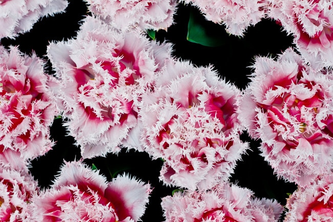 Pink Frilly Tulips