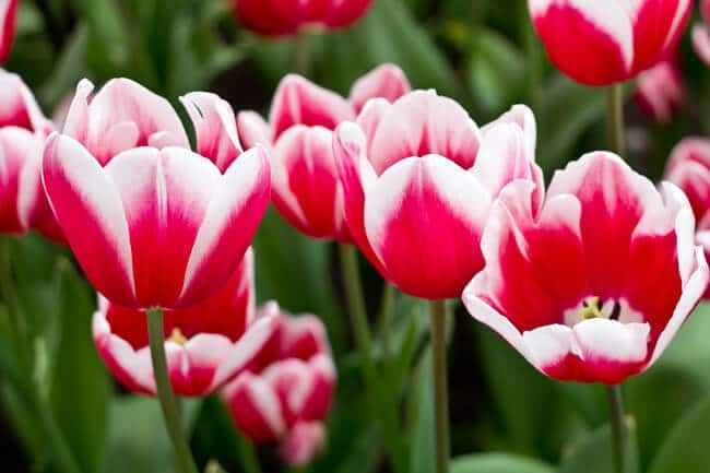 Pink and White Tall Tulips