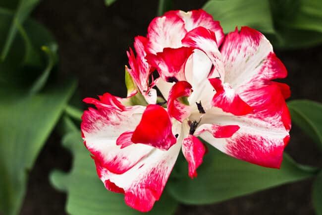 More Open Tulips!
