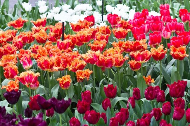Keukenhof Tulip Garden Bed