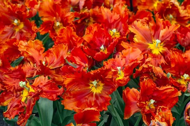 Orange Ruffled Tulips