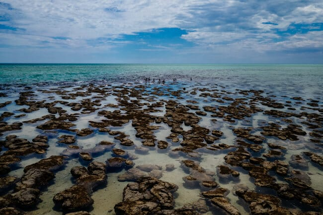 Stromatolites at Hamlin Bay