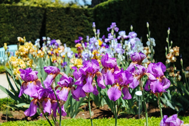 Irises at Parc de Bagatelle